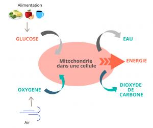 Montre le rôle d'une hormone thyroïdienne la T3 dans la production d'énergie pour les cellules